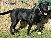 Tracer's story Tracer is a 7 month old Lab mix. He