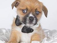 Tracker's story Tracker is a 10 week old Shih Tzu mix.