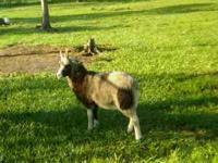 We have four registered shetland sheep ewes, One dorper