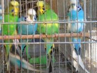I have a variety of color/ ages english budgies looking