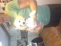 I have a 6 year old teacup size pom male full blooded