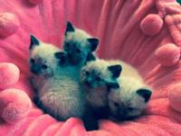 LOVELY SEAL POINT RAGDOLL/SIAMESE KITTENS! BORN ON JUNE