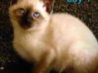 I have beautiful standard siamese kitties available!