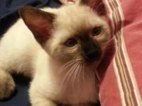 Two month old Traditional Siamese Seal point male