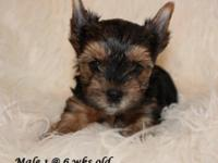 Royal Darling Yorkies offers beautiful yorkie puppies.