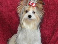 We have gorgeous AKC signed up yorkie young puppies of