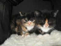 The two American Shorthair female kitten were born on