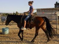 DILLON, A 12 YR. OLD REGISTERED TWH 14.1 HANDS...HE IS