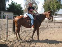 15+ hands tall- Quarter Horse 10 yr old Sorrel Mare