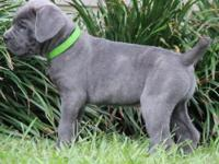 Trained Cane Corso puppies for good homes, i have a