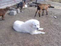 For sale, two LGDs. Pure Great Pyrenees father and son