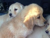 Trained Trained Trained Golden Retrievers Available Now