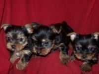 We have available two Yorkie Puppies, both 13 weeks
