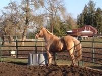 Trapper is a stocky 14.3 hand gelding, he is in good