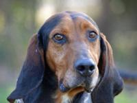Treeing Walker Coonhound - 30140 Goober - Large - Adult