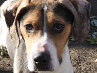Treeing Walker Coonhound - Able - Medium - Young - Male