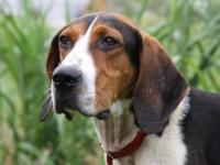 "Treeing Walker Coonhound ""Henry"" is a handsome 4-year"