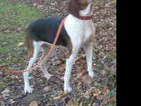 Treeing Walker Coonhound - Babe - Medium - Senior -