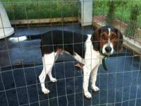 Treeing Walker Coonhound - Bo Dean (walker) - Large -