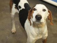 Treeing Walker Coonhound - Bo ~sponsored - Large -