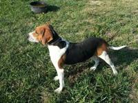 Treeing Walker Coonhound - Bonnie - Large - Senior -