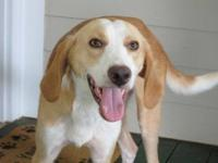 Treeing Walker Coonhound - Buddy - Medium - Adult -