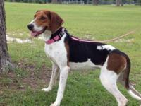 Treeing Walker Coonhound - Buttercup - Large - Young -