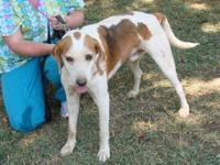 Treeing Walker Coonhound - Casper - Medium - Adult -