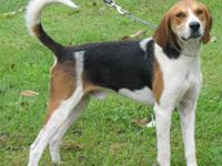 Treeing Walker Coonhound - Chad, D30 - Large - Adult -
