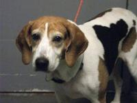 Treeing Walker Coonhound - Charlotte - Large - Adult -