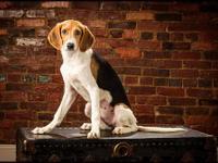 Treeing Walker Coonhound - Cherie - Medium - Baby -