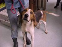 Treeing Walker Coonhound - Connor - Large - Adult -