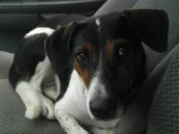 Treeing Walker Coonhound - Daisy - Medium - Young -