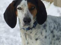 Treeing Walker Coonhound - Delaney - Medium - Adult -