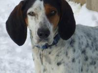 Treeing Walker Coonhound - Delaney - Medium - Adult -