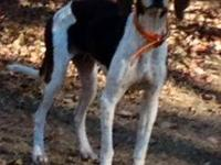 Treeing Walker Coonhound - Dinah - Medium - Adult -