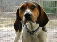 Treeing Walker Coonhound - Dixon - Large - Adult - Male
