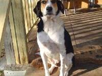 Treeing Walker Coonhound - Doc - Medium - Adult - Male