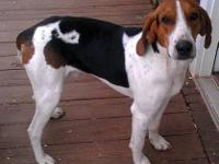 Treeing Walker Coonhound - Duke - Large - Young - Male