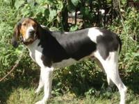 Treeing Walker Coonhound - Duke The Dog - Large - Young