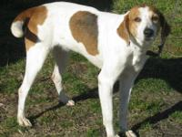 Treeing Walker Coonhound - Frilly - Medium - Adult -