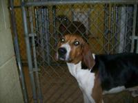 Treeing Walker Coonhound - George-great Dog!!! - Large