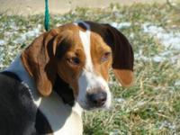 Treeing Walker Coonhound - Ginger - Large - Adult -