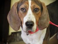 Treeing Walker Coonhound - Handsome~perfect!!!!!!!! -