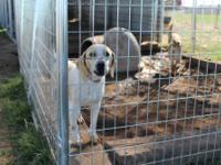 Treeing Walker Coonhound - Harmony - Medium - Young -