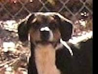 Treeing Walker Coonhound - Henrietta - Medium - Adult -