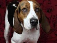 Treeing Walker Coonhound - Henry - Large - Adult - Male