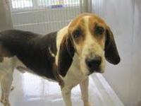Treeing Walker Coonhound - Homer - Large - Adult - Male