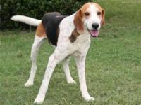 Treeing Walker Coonhound - Hunter - Extra Large - Adult