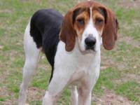 Treeing Walker Coonhound - Jed - Large - Young - Male -
